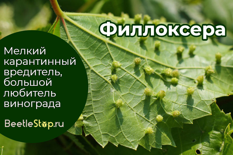 Пораженный филлоксерой виноградный лист