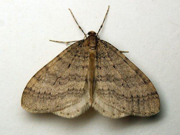 Самец насекомого