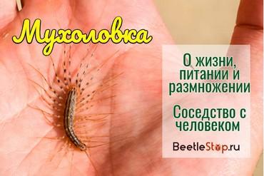 Насекомое мухоловка обыкновенная: какие причины появления сороконожки, чем питается и как вывести?