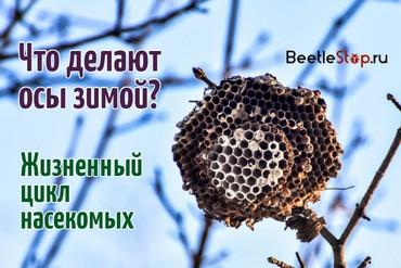 Как зимуют осы и шершни