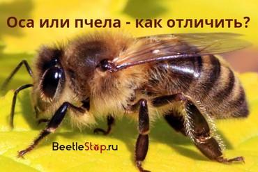 Чем пчела отличается от осы детям