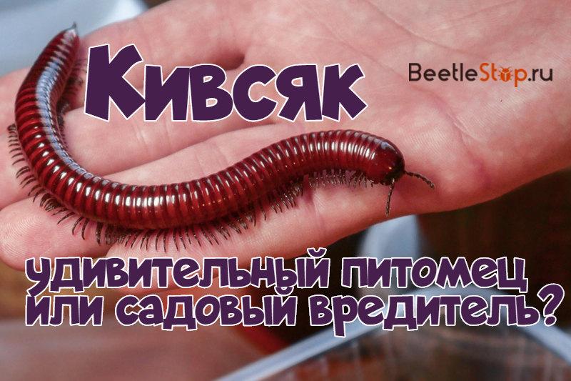 Кивсяк