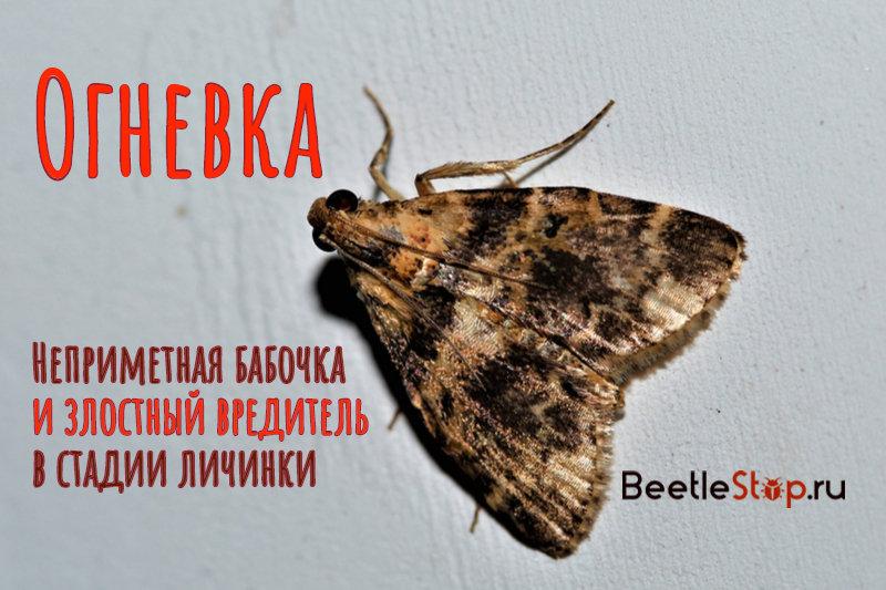 Бабочка шишковой огневки