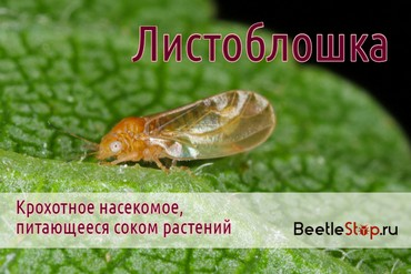 Яблонная листоблошка. Описание, лечение, профилактика заболевания