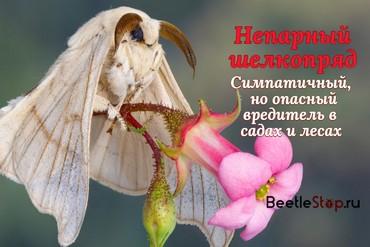 Шелкопряд бабочка и гусеница
