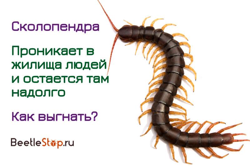 Сколопендра