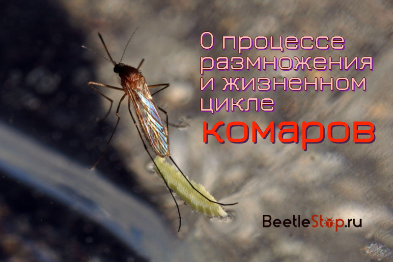 Размножение комаров