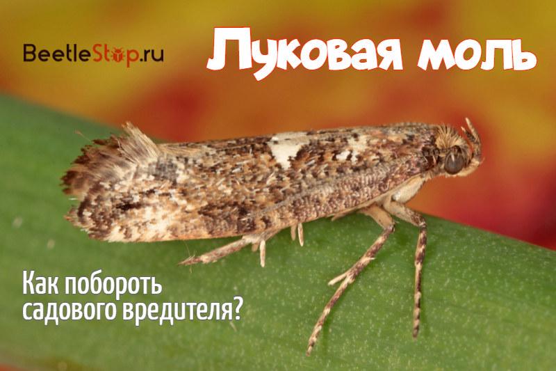 Бабочка луковой моли