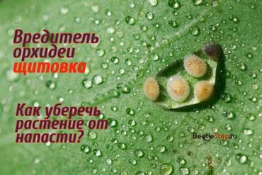 Щитовка на орхидее: как избавиться от насекомых и вылечить растение — пошаговая инструкция, как бороться с паразитами и примеры на фото
