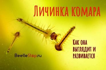 Виды комаров: описание и фото разновидностей комаров