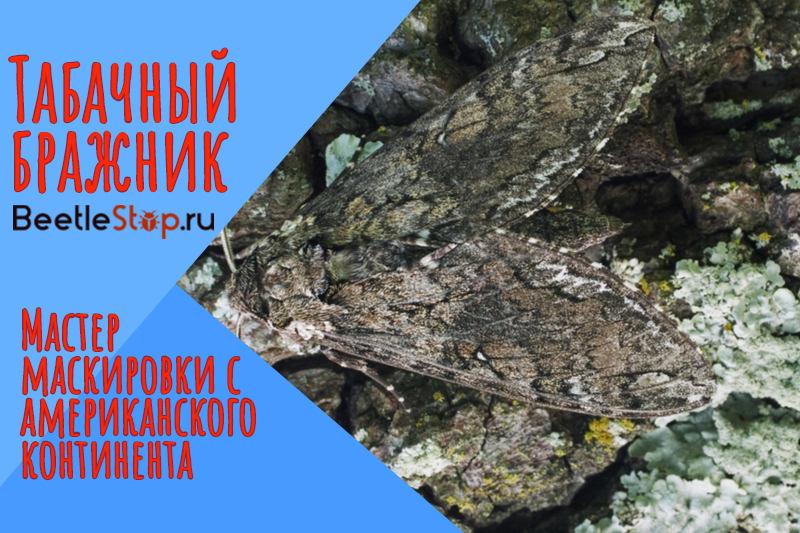 tabachnyiy-brazhnik.jpg