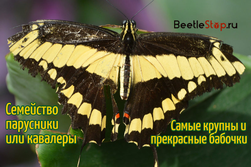 бабочка парусник