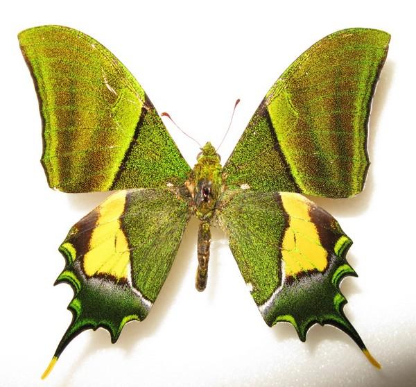 Зеленая крупная бабочка Тейнопальпус