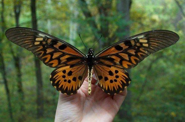 Бабочка-гигант