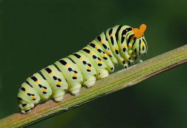 Гусеница бабочки парусника