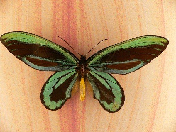 Крупнейшая в мире дневная бабочка
