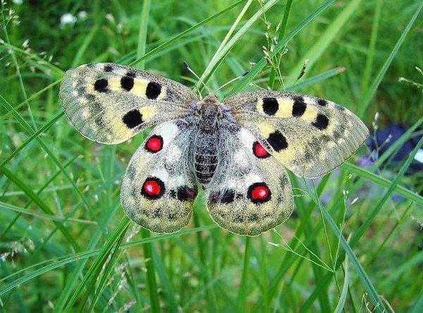 Редкая бабочка из рода Парнассиусы