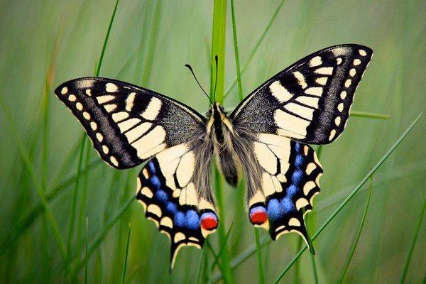 Papiliomachaon или парусник Махаон