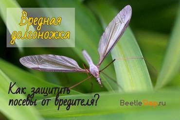 Комар долгоножка – безобидный гигант или опасный паразит?