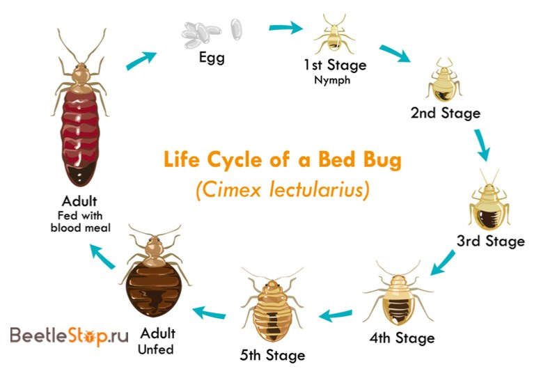 цикл развития клопа