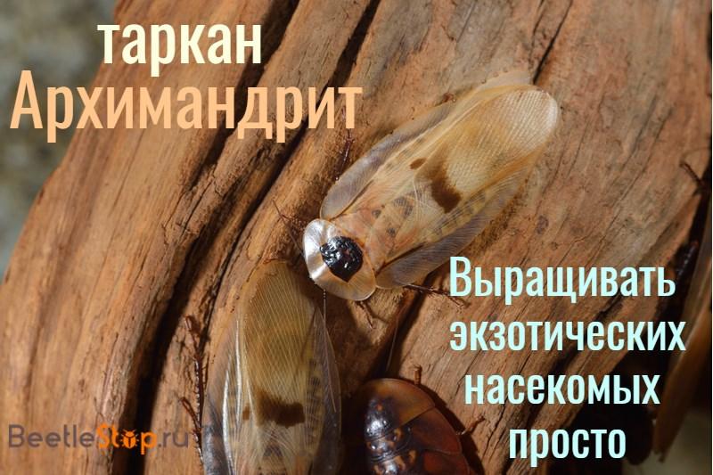 таракан архимандрит